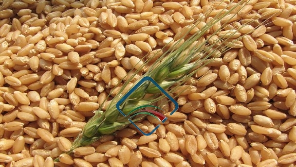Clinker Picture Of Corn : Wheat abdul sattar sons seed prices