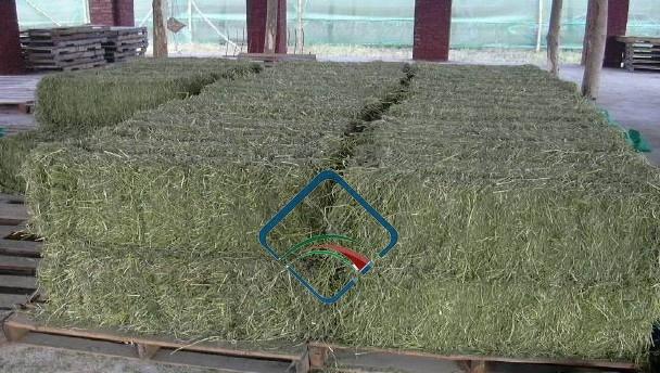 Clinker Picture Of Corn : Alfalfa hay abdul sattar sons horse